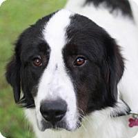 Adopt A Pet :: Bernard - ADOPTION IN PROGRESS - Bedminster, NJ
