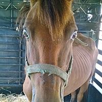 Quarterhorse Mix for adoption in Hitchcock, Texas - Symphony