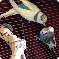 Budgie for adoption in Cheektowaga, New York - Wally and Eve