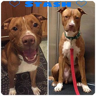 American Pit Bull Terrier/Vizsla Mix Dog for adoption in Pinellas Park, Florida - Stash