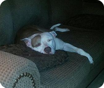 American Staffordshire Terrier Mix Dog for adoption in Manhasset, New York - Dutchess