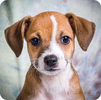 Jack Russell Terrier/Chihuahua Mix Puppy for adoption in Anna, Illinois - JAGGER