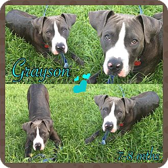 Bulldog Mix Puppy for adoption in hollywood, Florida - GRAYSON