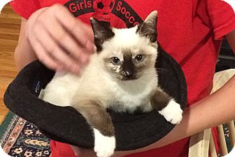 Domestic Shorthair Kitten for adoption in Durham, North Carolina - Sage
