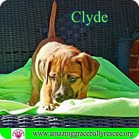 Adopt A Pet :: Clyde - Pensacola, FL