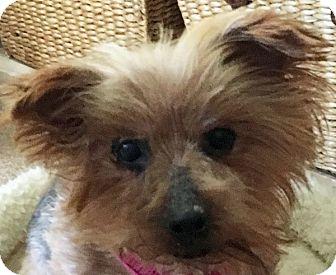 Yorkie, Yorkshire Terrier Dog for adoption in Chesterfield, Missouri - Idabell