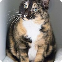 Adopt A Pet :: Twiggy - Merrifield, VA