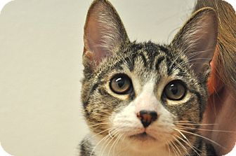 Domestic Shorthair Kitten for adoption in Foothill Ranch, California - Crystal