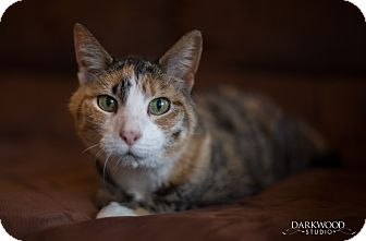 Calico Cat for adoption in St. Louis, Missouri - **Tigre**