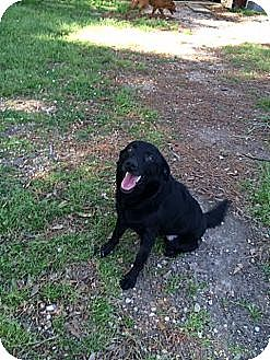 Labrador Retriever/Catahoula Leopard Dog Mix Dog for adoption in Baton Rouge, Louisiana - Cam