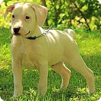 Adopt A Pet :: Laddie - Staunton, VA