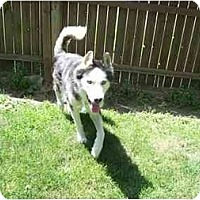 Adopt A Pet :: Blue-Pending! - Belleville, MI