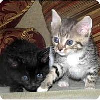 Adopt A Pet :: Kitten #2 - Xenia, OH