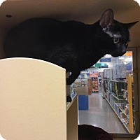Adopt A Pet :: SEBASTIAN-PetsMart Kitty - Scottsdale, AZ