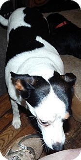 Rat Terrier Mix Dog for adoption in Anderson, South Carolina - Angel