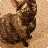 Domestic Shorthair Cat for adoption in Middletown, Connecticut - Olivia