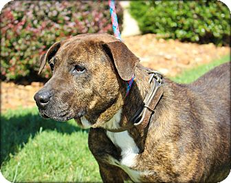 Pit Bull Terrier Mix Dog for adoption in Clarksville, Tennessee - Reese