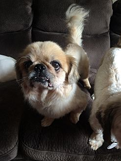 Pekingese Mix Dog for adoption in Beachwood, Ohio - Kipling