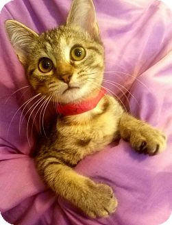 Domestic Shorthair Cat for adoption in Cumberland and Baltimore, Maryland - Charlie