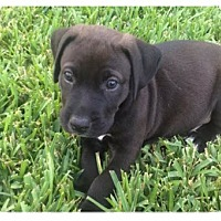 Adopt A Pet :: Bear 8 - Houston, TX