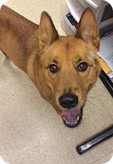 Finnish Spitz/Shiba Inu Mix Dog for adoption in Fort Collins, Colorado - Ansa