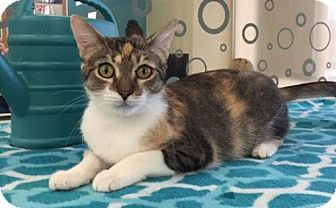 Domestic Shorthair Cat for adoption in Fort Worth, Texas - Laela---Courtesy Listing