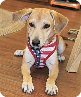 Labrador Retriever/Retriever (Unknown Type) Mix Dog for adoption in Brattleboro, Vermont - Cheyenne ~ ADOPTED!