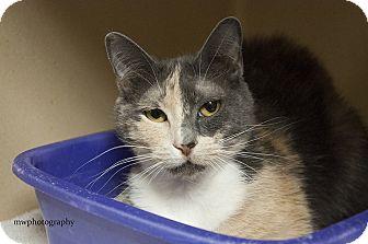 Calico Cat for adoption in Lincolnton, North Carolina - Marlee