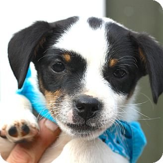 Jack Russell Terrier/Beagle Mix Puppy for adoption in West Grove, Pennsylvania - Spot
