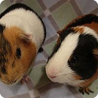 Adopt A Pet :: Piggly (s) - Steger, IL