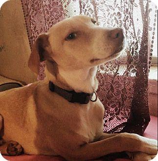 Pointer/Hound (Unknown Type) Mix Puppy for adoption in Austin, Texas - Louise