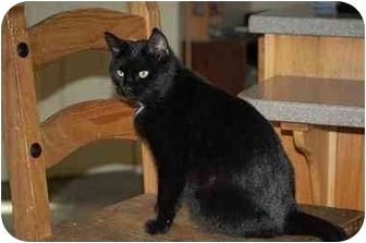 Domestic Shorthair Cat for adoption in Woodstock, Virginia - Minnie