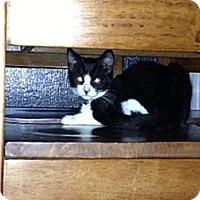 Domestic Shorthair Kitten for adoption in Monrovia, California - Shadow