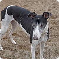 Adopt A Pet :: Hoss - Roanoke, VA