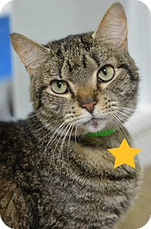 Domestic Shorthair Cat for adoption in Atlanta, Georgia - Elise 7328