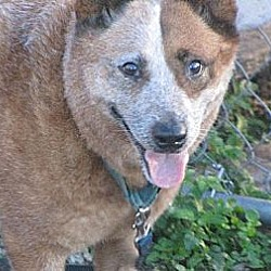 Photo 2 - Australian Cattle Dog Dog for adoption in Bradenton, Florida - Pepper
