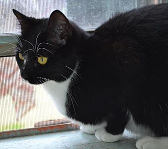 Domestic Shorthair Cat for adoption in Baton Rouge, Louisiana - Ariel