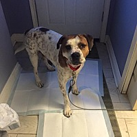 American Bulldog/Terrier (Unknown Type, Medium) Mix Dog for adoption in Detroit, Michigan - *AARF* - Puritan