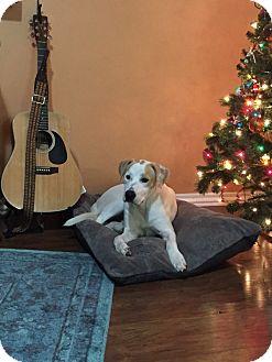 Labrador Retriever Mix Dog for adoption in oklahoma city, Oklahoma - Scout