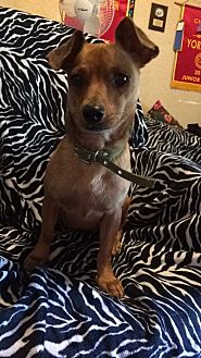 Chihuahua/Dachshund Mix Dog for adoption in Mineral Wells, Texas - Nayla
