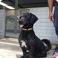 Adopt A Pet :: 'HENG' - Agoura Hills, CA