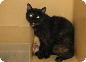 American Shorthair Cat for adoption in Brooklyn, New York - Bella
