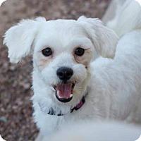 Maltese Mix Dog for adoption in Scottsdale, Arizona - Dobby
