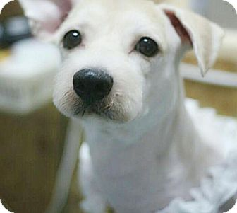 Cairn Terrier/Terrier (Unknown Type, Small) Mix Dog for adoption in Fairfax, Virginia - Max