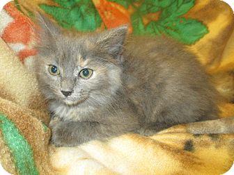Domestic Shorthair Kitten for adoption in Decatur, Alabama - Brianna