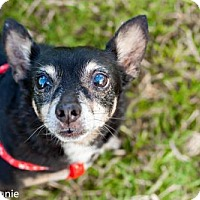 Chihuahua Mix Dog for adoption in Tucson, Arizona - Leon