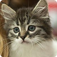 Domestic Mediumhair Kitten for adoption in Great Falls, Montana - Zero