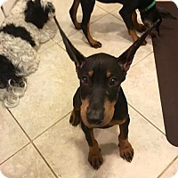 Adopt A Pet :: Kurt - Houston, TX