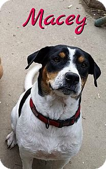 Hound (Unknown Type) Mix Dog for adoption in Cheney, Kansas - Macey