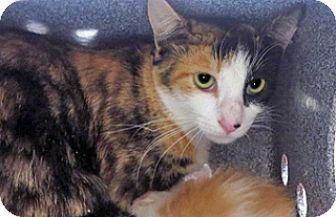 Domestic Shorthair Cat for adoption in Wildomar, California - 317668